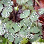 かたばみ模様は植物のカタバミがモチーフ