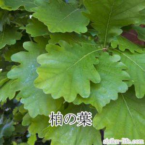 三つ葉模様と柏の葉
